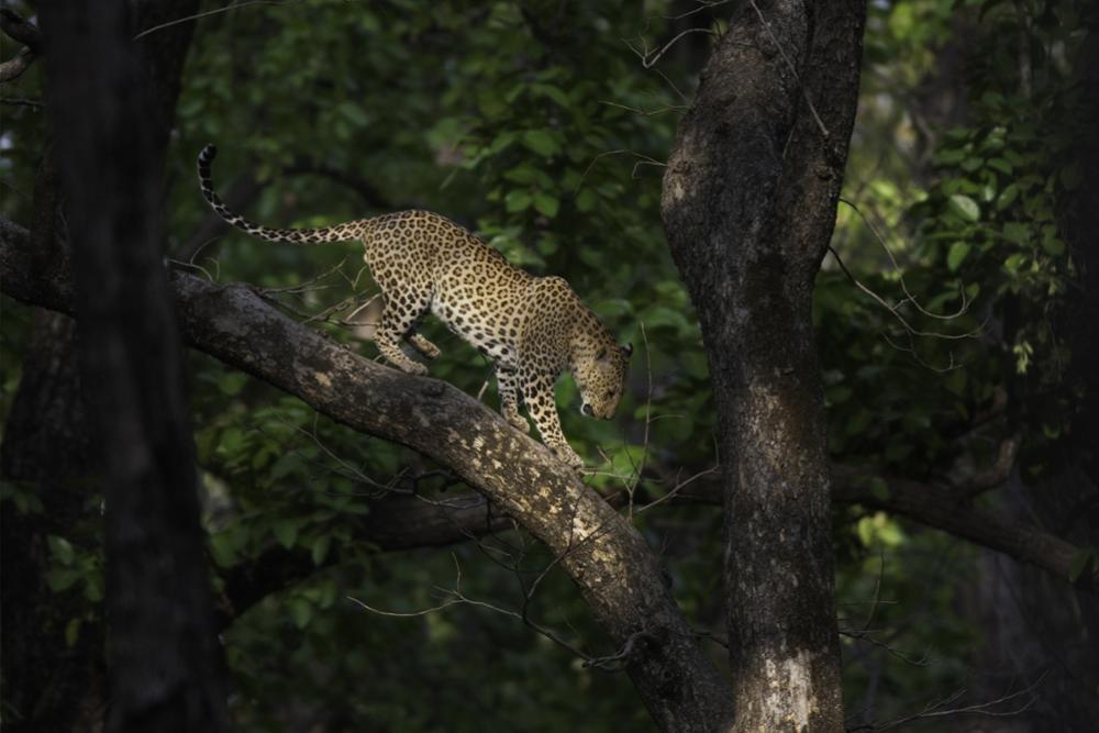 3 parcs nationaux incontournables pour admirer les tigres d'Inde